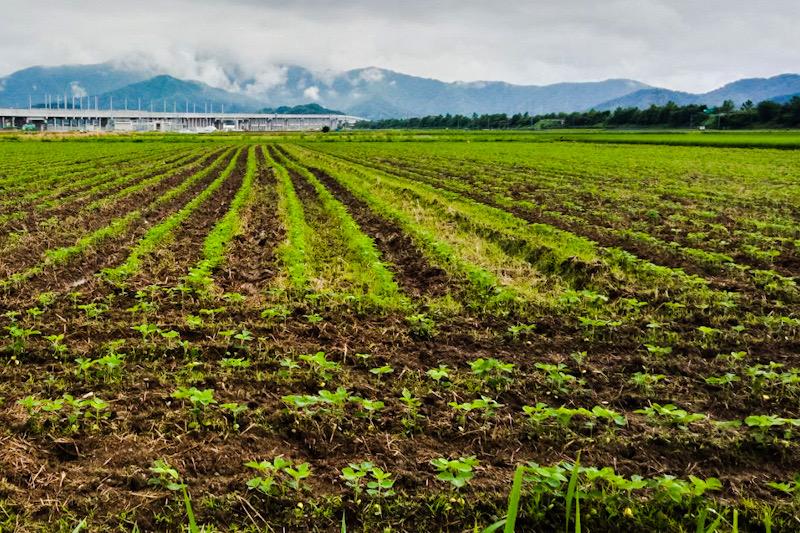 大豆畑大豆成長